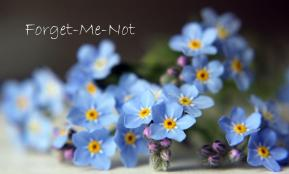 Forget-Me-Not-Flowers-Wallpaper